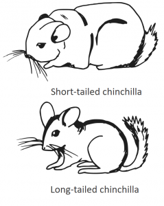 chinchilla breeds