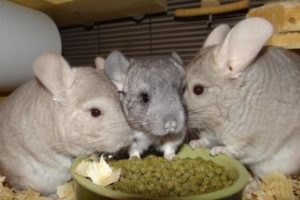 What Do Chinchillas Eat? - Here's All You Need to Know