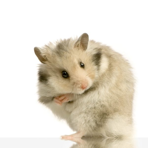 Can Hamsters Eat Almonds?
